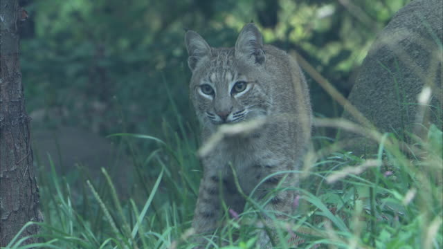 a bobcat stands in a grassy forest clearing in the appalachian mountains. - appalachia stock videos & royalty-free footage