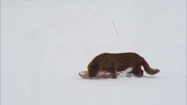 bobcat walking across a snowfield carrying a hunted fish, gangwon province, south korea - one animal stock videos & royalty-free footage