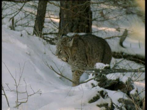 bobcat walks through snowy forest then sits down, canada - tierfarbe stock-videos und b-roll-filmmaterial