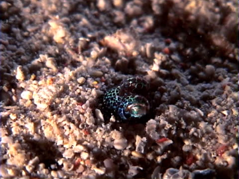 Bobtail Squid digging himself into the sand