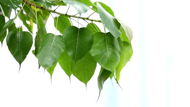 bodhi leaf flew by the wind - buddha stock videos & royalty-free footage