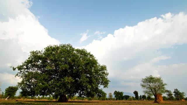 Bodhi tree. Time Lapse