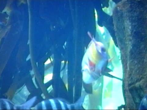 boeseman's rainbow fish - melanotaenia boesemani - aquatic organism stock videos & royalty-free footage