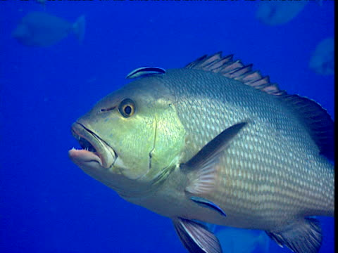 bohar snapper being cleaned by cleaner wrasse. red sea - wrasse stock videos & royalty-free footage