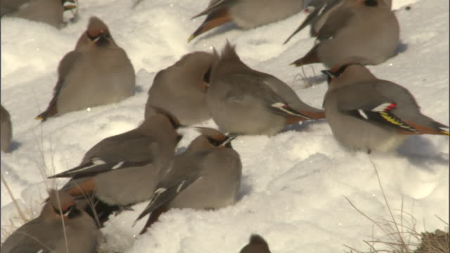 Bohemian waxwings (Bombycilla garrulus) feed on snow, Yellowstone, USA