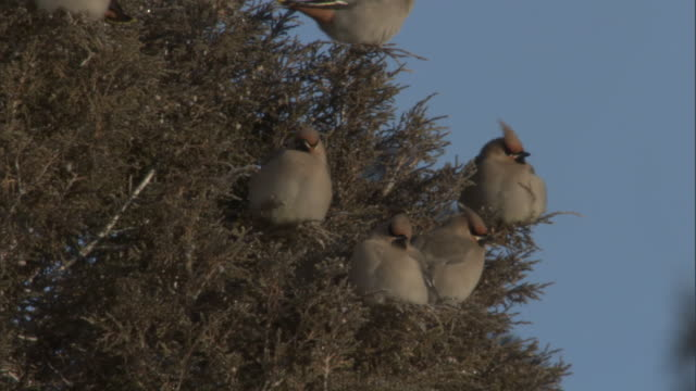 Bohemian waxwings (Bombycilla garrulus) in tree, Yellowstone, USA