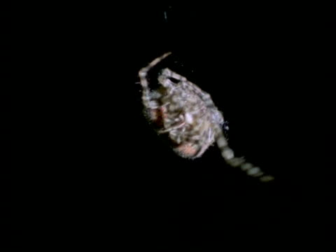bolas or magnificent spider (dicrosticus) cu spider hanging from thread, australia - arachnid stock videos & royalty-free footage
