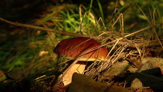 vídeos de stock e filmes b-roll de boletus in forest - solo