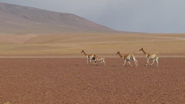 bolivia llamas - bolivia stock videos & royalty-free footage
