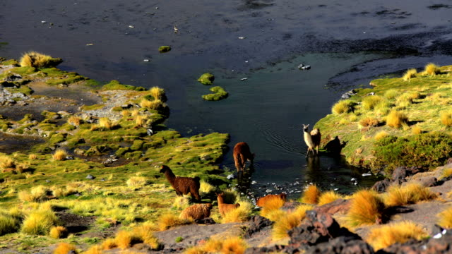 stockvideo's en b-roll-footage met bolivian llama in eduardo avaroa national reserve wilderness - bolivia
