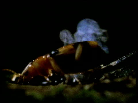 Bombardier beetle sitting on branch secretes chemicals into night air as part of defence mechanism