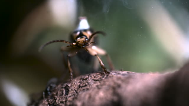 Bombardier beetle (Pheropsophus species) sprays boiling fluid from abdomen.