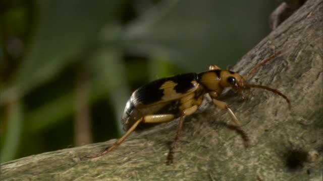 bombardier beetle (pheropsophus species) walks along branch. - beetle stock videos & royalty-free footage