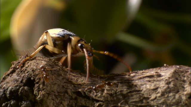 bombardier beetle (pheropsophus species) walks past ants on branch. - beetle stock videos & royalty-free footage