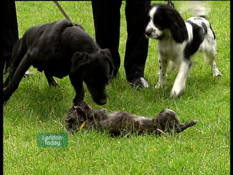 dogs awarded bravery medals st james's park **bob crawford interview overlaid sot** dogs on leads playing on grass pull out police dog handlers... - itv london lunchtime news stock-videos und b-roll-filmmaterial