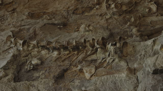 bone spine fossil embedded in rock at dinosaur national monument / vernal, utah, united states - utah stock videos & royalty-free footage