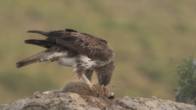 vidéos et rushes de bonelli's eagle (aquila fasciata) adult male ,feeding on european rabbit (oryctolagus cuniculus), valencia, spain - aigle