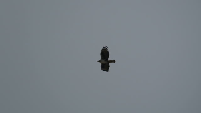 vidéos et rushes de bonelli's eagle (aquila fasciata) - adults standing and flying - aigle