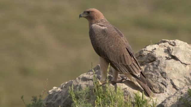 bonelli's eagle (aquila fasciata) juvenile ,calling for food (oryctolagus cuniculus), valencia, spain - aquila video stock e b–roll