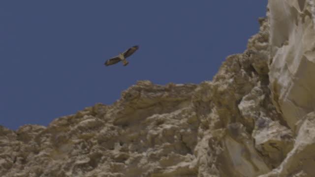 bonelli's eagle (aquila fasciata) - habicht stock-videos und b-roll-filmmaterial