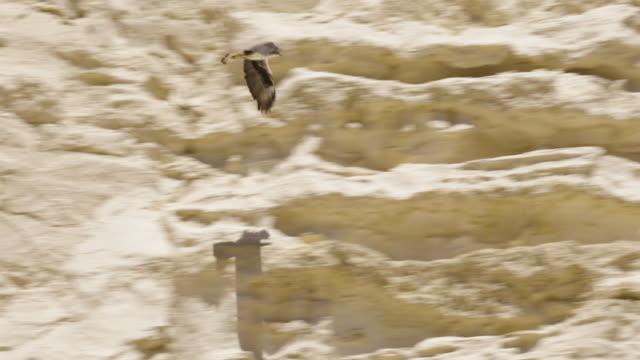 vidéos et rushes de bonelli's eagle (aquila fasciata) - aigle