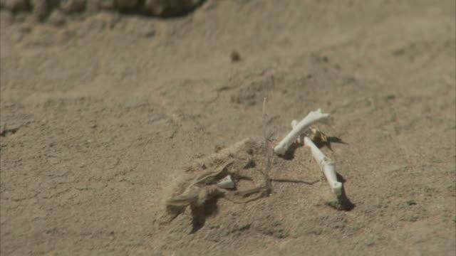 Bones littered in the desert.
