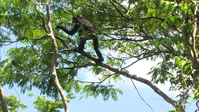bonobo climbing up a tree to the top and jumping to the next tree - hanging stock videos & royalty-free footage