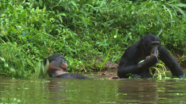 Bonobo eating grass at the tropical jungle river, Congo Basin, Africa