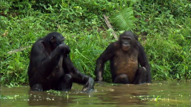 Bonobo stops eating grass and approaches another Bonobo