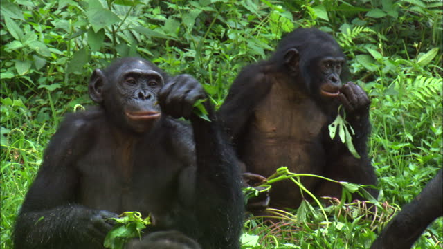 bonobos eating grass in tropical jungle, congo basin, africa - eating stock videos & royalty-free footage