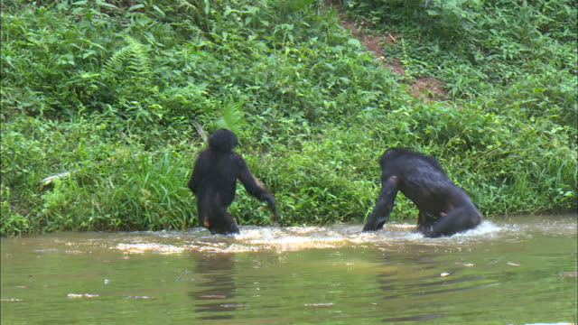 vidéos et rushes de bonobos playing in the tropical jungle river, congo basin, africa - faune sauvage