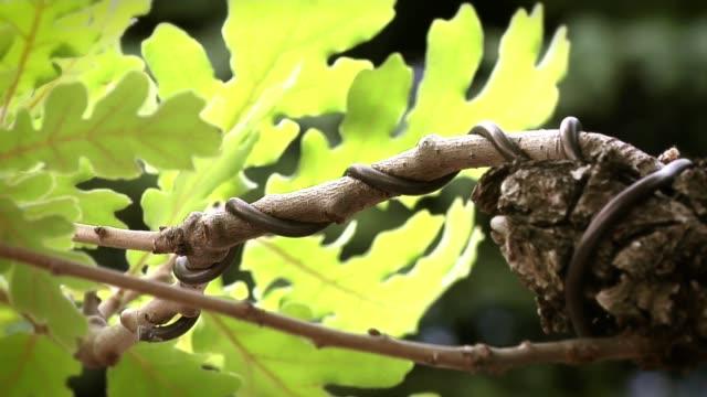 vidéos et rushes de bonsai - burgundy oak leaves and branches - brindille