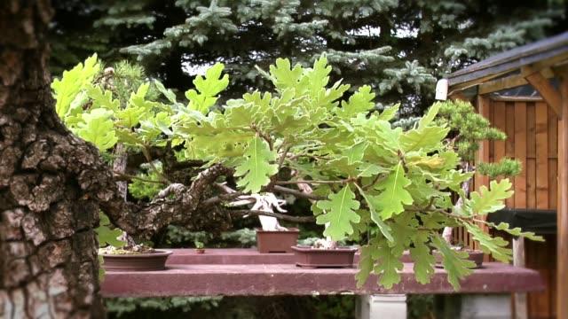 vidéos et rushes de bonsai - burgundy oak - brindille