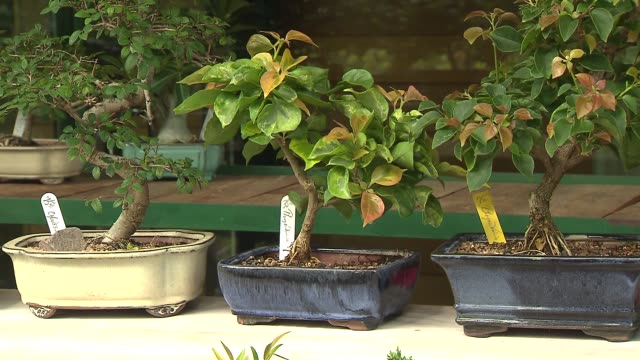 bonsai trees at arboretum on september 20 2013 in lisle illinois - dupage county stock videos & royalty-free footage
