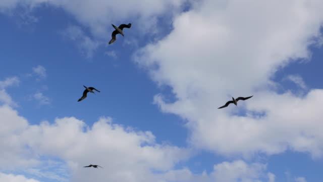vídeos y material grabado en eventos de stock de aves marinas de armas en méxico - alcatraz patirrojo