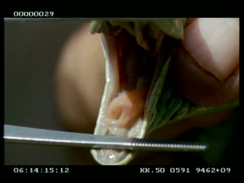 bcu boomslang (male)'s tracheal opening - displayed by keeper - trachea stock videos & royalty-free footage