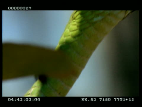 cu boomslang snake's head in tree - scaly stock videos & royalty-free footage