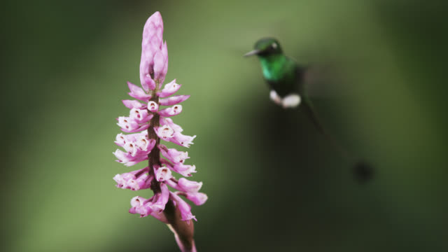 booted racket tail hummingbird (ocreatus underwoodii) approaches flowers, ecuador - racket stock videos and b-roll footage