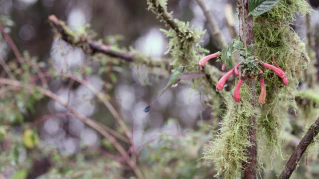 stockvideo's en b-roll-footage met booted racket tail hummingbird (ocreatus underwoodii) feeds in forest, ecuador - ecuador