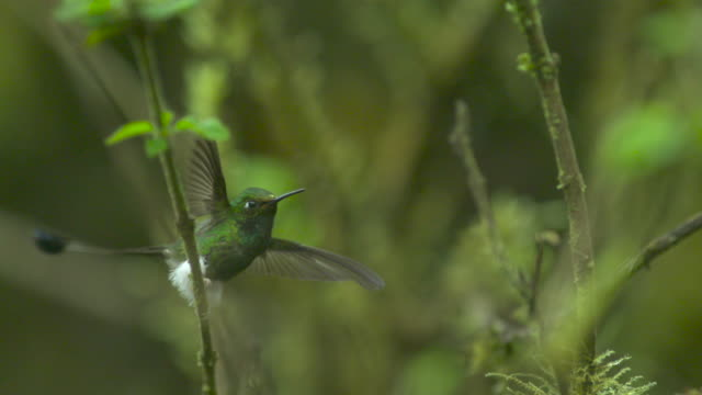 stockvideo's en b-roll-footage met booted racket tail hummingbird (ocreatus underwoodii) flies away in forest, ecuador - staartjes