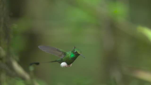 booted racket tail hummingbird (ocreatus underwoodii) flies away in forest, ecuador - hummingbird stock videos and b-roll footage