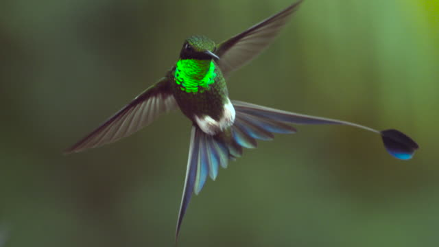 booted racket tail hummingbird (ocreatus underwoodii) hovers in forest, ecuador - fly stock videos and b-roll footage