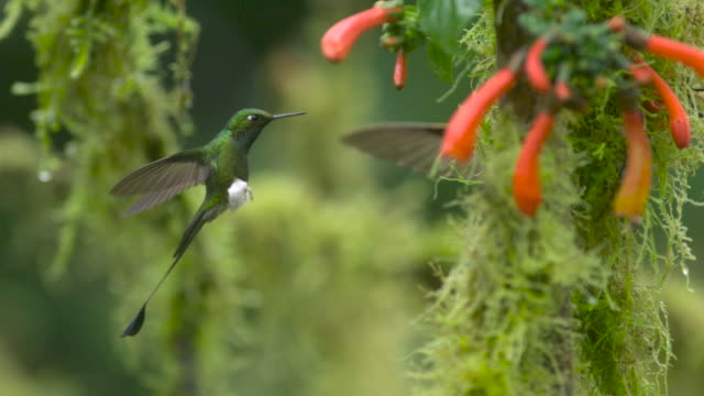 booted racket tail hummingbird (ocreatus underwoodii) hovers in forest, ecuador - hummingbird stock videos and b-roll footage