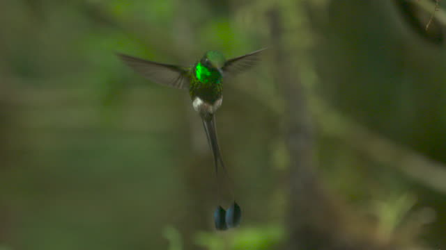 stockvideo's en b-roll-footage met booted racket tail hummingbird (ocreatus underwoodii) hovers in forest, ecuador - staartjes