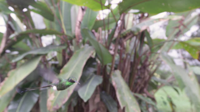 Booted racket tail hummingbird (Ocreatus underwoodii) hovers in forest, Ecuador
