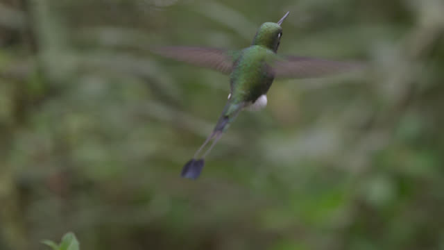 vídeos de stock e filmes b-roll de booted racket tail hummingbird (ocreatus underwoodii) hovers in forest, ecuador - raqueta