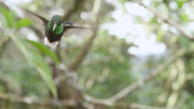 booted racket tail hummingbird (ocreatus underwoodii) in forest, ecuador - hummingbird stock videos and b-roll footage