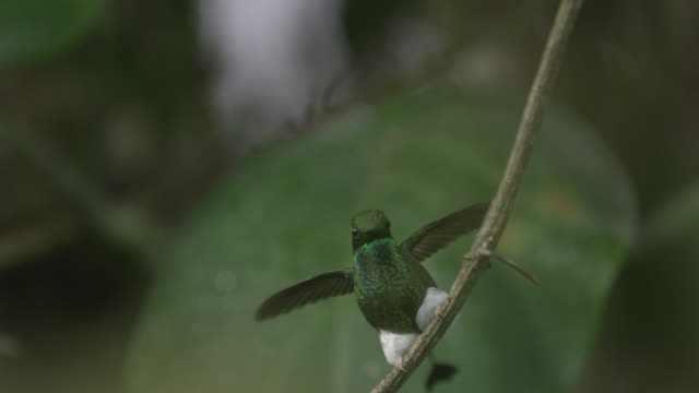 stockvideo's en b-roll-footage met booted racket tail hummingbird (ocreatus underwoodii) lands in forest, ecuador - staartjes