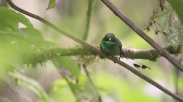 stockvideo's en b-roll-footage met booted racket tail hummingbird (ocreatus underwoodii) takes off in forest, ecuador - staartjes
