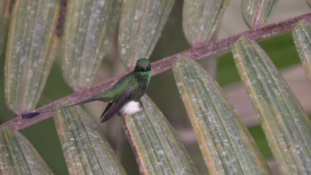 booted racket tail hummingbird (ocreatus underwoodii) takes off in forest, ecuador - hummingbird stock videos and b-roll footage